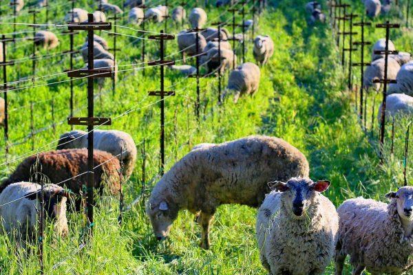 Овцы и соколы – новые работники виноградников